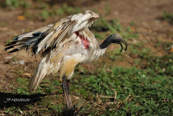 DSC_0883-Ibis sacré-Threskiornis aethiopicus-Sacred Ibis