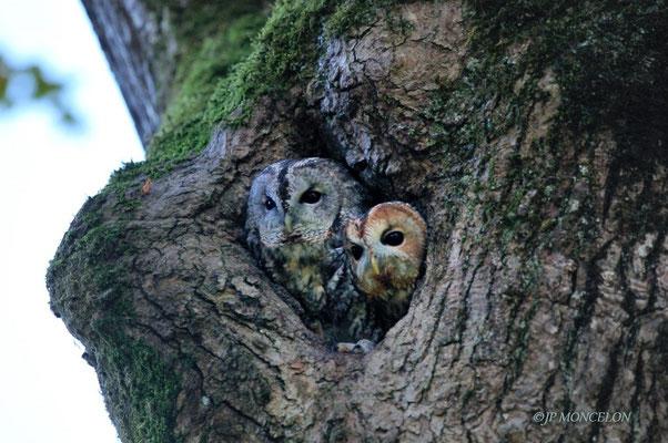 _DSC9308-Chouette hulotte-Strix aluco - Tawny Owl
