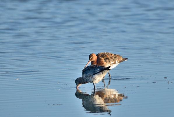 _JPM2936Barge à queue noir-Limosa limosa - Black-tailed Godwit