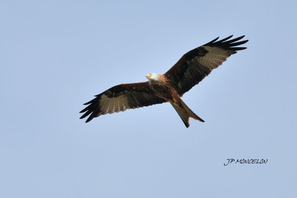 DSC_1122-Milan royal-Milvus milvus - Red Kite