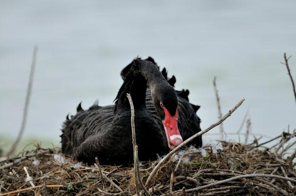 Cygne noir-Cygnus atratus - Black Swan_DSC0894