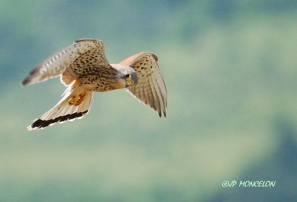 DSC_2869-Faucon crécerelle-Falco tinnunculus