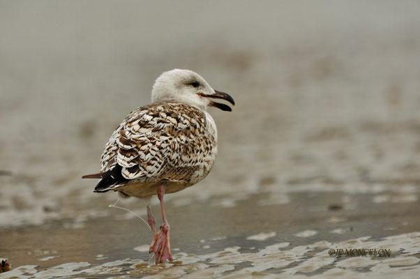 _DSC7082-Goéland marin-Larus marinus - Great Black-backed Gull