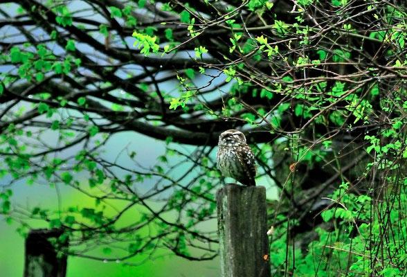 _DSC3736-Chevêche d'Athéna-Athene noctua - Little Owl