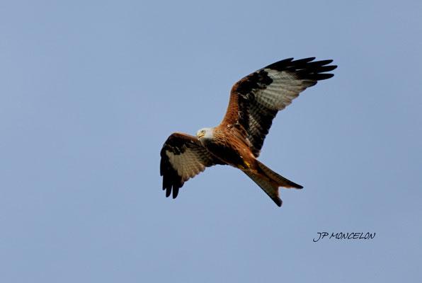 DSC_1121-Milan royal-Milvus milvus - Red Kite