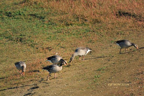 _DSC0094-Oie cendrée-Anser anser - Greylag Goose