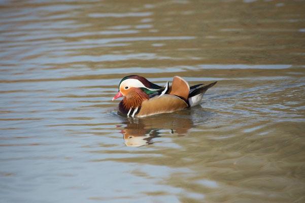 Canard mandarin-Aix galericulata - Mandarin Duck