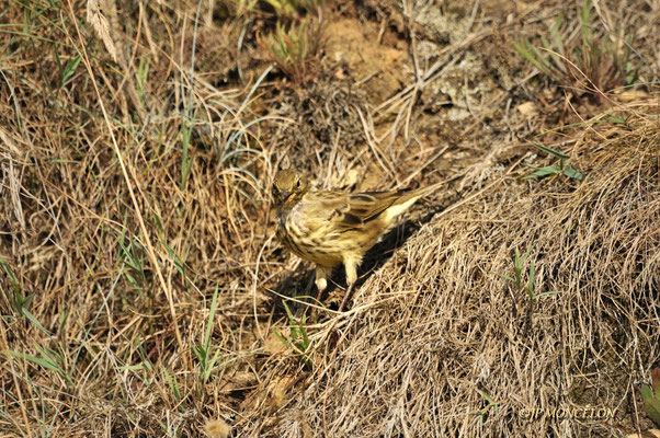 _DSC7594-Pipit farlouse-Anthus pratensis - Meadow Pipit