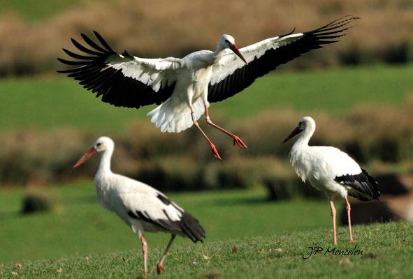 DSC_0687_Cigogne blanche-Ciconia ciconia - White Stork