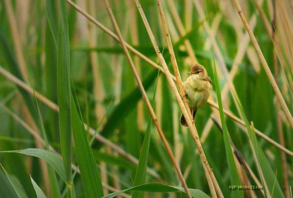 _DSC3074-Rousserole verderolle-Acrocephalus palustris