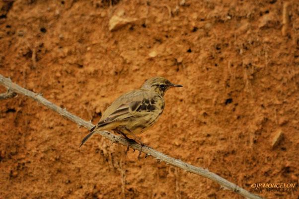 -Pipit farlouse-Anthus pratensis - Meadow Pipit
