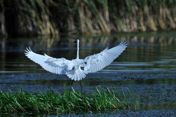 DSC_0603_Grande Aigrette-Ardea alba - Great Egret