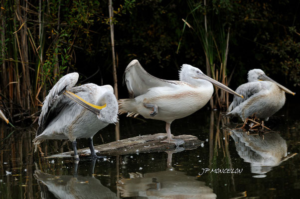 DSC_1003-Pélican blanc-Pelecanus onocrotalus-peacock