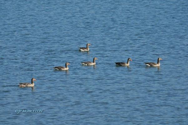 _DSC0082-Oie cendrée-Anser anser - Greylag Goose
