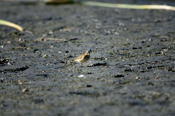 _JPM4319_Pipit farlouse-Anthus pratensis - Meadow Pipit