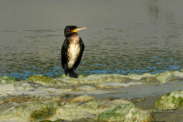 _DSC6592_Grand cormoran-Phalacrocorax carbo