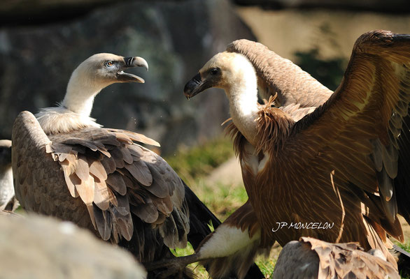DSC_0814-Vautour fauve-Gyps fulvus - Griffon Vulture