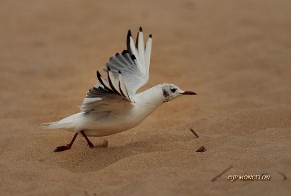 _DSC6970-Mouette rieuse-Chroicocephalus ridibundus - Black-headed Gull