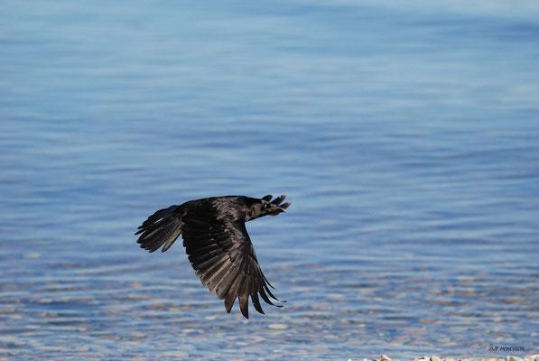 DSC_1460-Corneile noire-Corvus corone