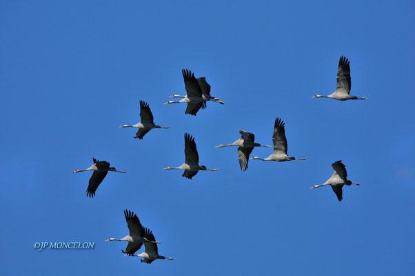 _DSC0154-Grue cendrée-Grus grus - Common Crane