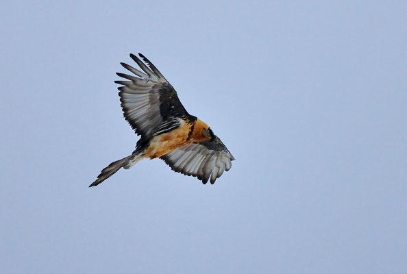 _DSC9945_Gypaète barbu-Gypaetus barbatus - Bearded Vulture