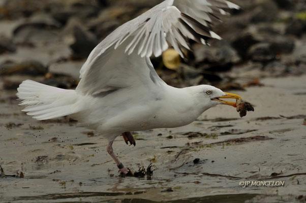 _DSC7126-Goéland argenté-Larus argentatus - European Herring Gull