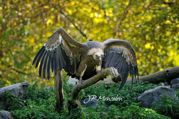 DSC_0826-Vautour fauve- Gyps fulvus - Griffon Vulture