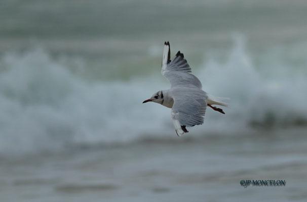 _DSC6982-Mouette rieuse-Chroicocephalus ridibundus - Black-headed Gull