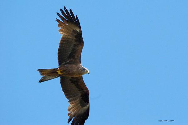 DSC_4985-Milan royal - Milvus milvus - Red Kite