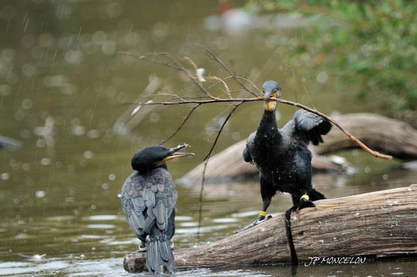 DSC_1008-Grand Cormoran-Phalacrocorax carbo - Great Cormorant