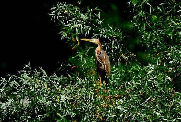 _DSC5717-Héron pourpré-Ardea purpurea - Purple Heron