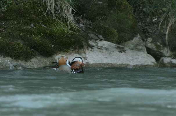 Canard mandarin-Aix galericulata - Mandarin Duck_DSC1871