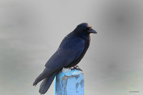 DSC_6241-Corneile noire-Corvus corone
