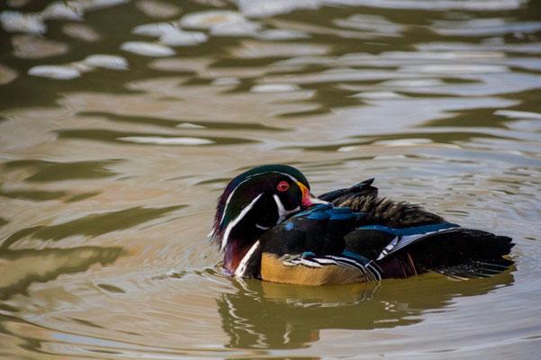 Canard carolin-Aix sponsa - Wood Duck