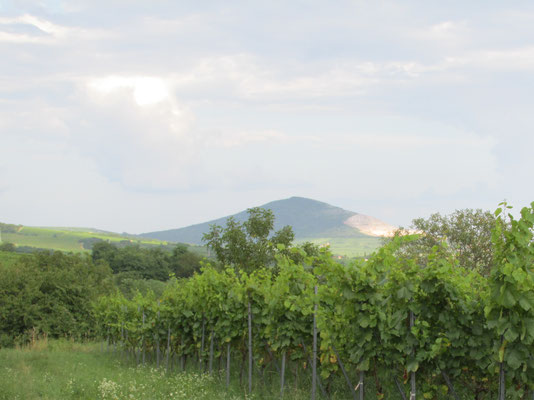 vineyard with view to the hill of villany, called szársomlyó