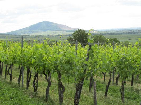 szőlőbirtok, szőlősorok