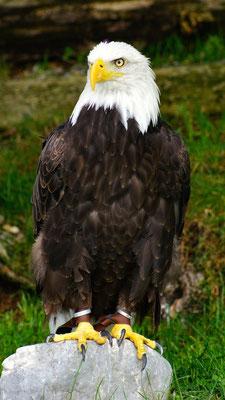 Der Weißkopfseeadler auf der Adlerwarte am Pfänder