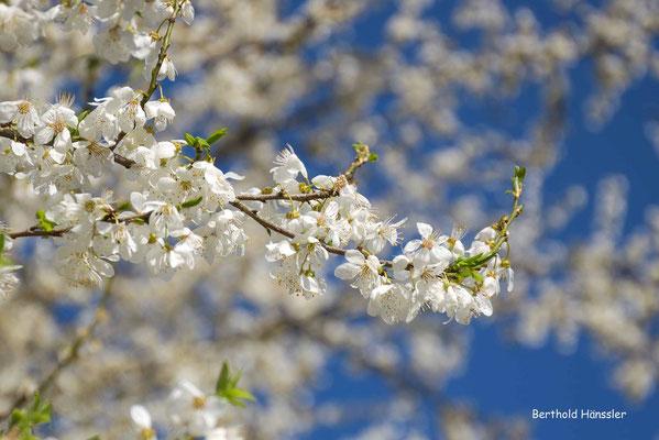 März 2020: Blütenpracht bei Eschenbach