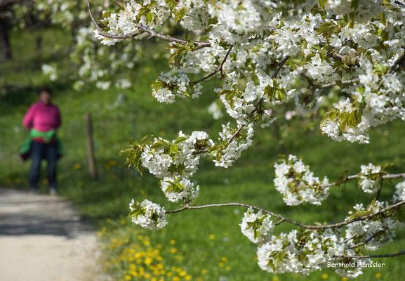 April 2020, Apfelblüte bei Gammelshausen
