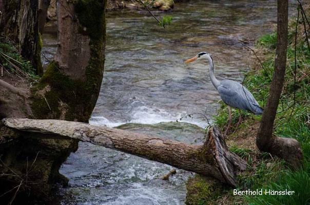Reiher am Brühlbach auf dem Weg zum Uracher Wasserfall