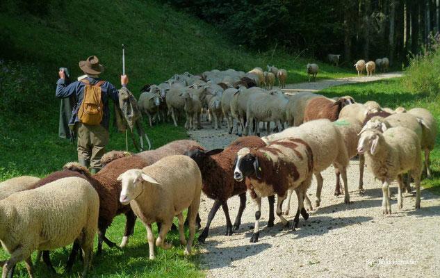 Schafherde in der Nähe des Filsursprungs