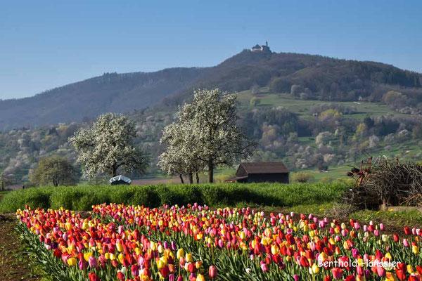 Blick über ein Tulpenfeld zur Teck - bei Nabern