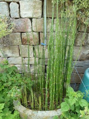 Japanischer Schachtelhalm im Brunnentrog, ein historisches Schleifmittel durch seine raue Oberfläche.