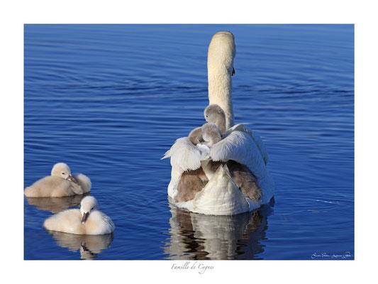 FS N° 17 famille de cygnes