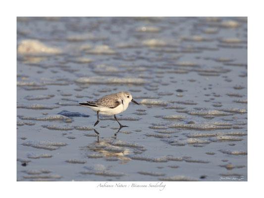 FS N° 9 bécasseaux de sanderling