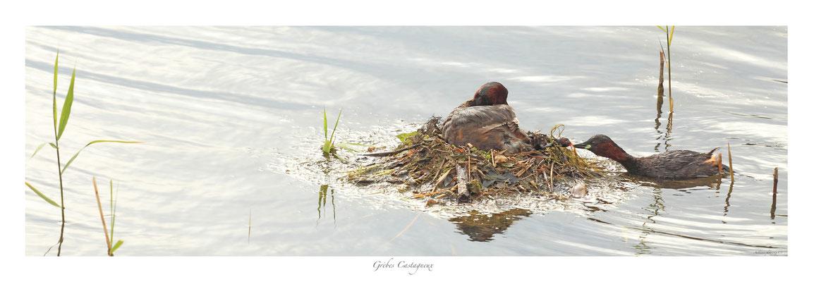 PFO N° 3 grèbes catagneux au nid