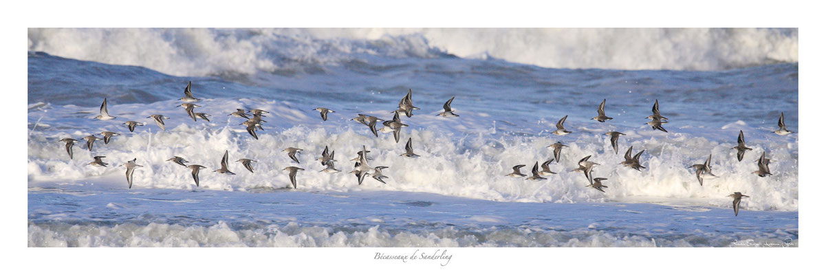 PFO N° 9 bécasseaux de sanderling