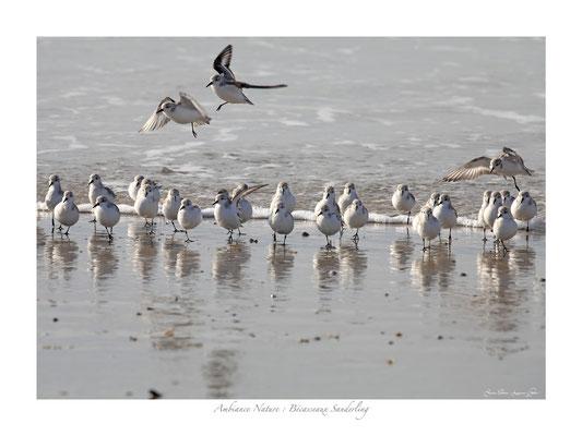 FS N° 10 bécasseaux de sanderling