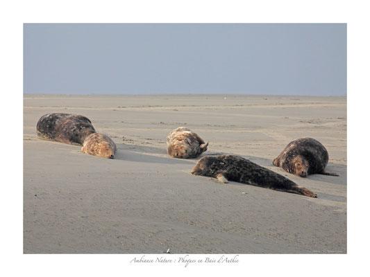 FS N° 7 phoques en Baie