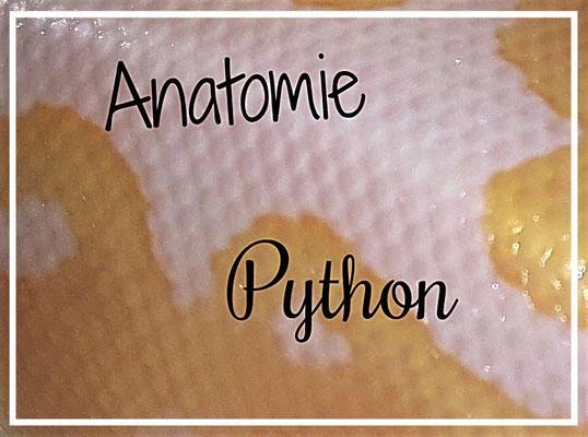 Der Kopf, Ober und Unterkiefer - Happy Pythons - Python regius